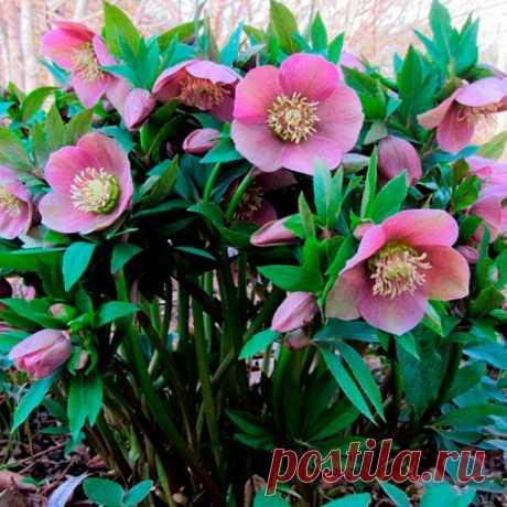 Многолетний садовый цветок Морозник (Helleborus). Семейство: лютиковые (Ranunculaceae)  Синонимы: зимовник, геллеборус  Травянистый корневищный многолетник 30-60 см. Стебель слабоветвистый, листья пальчато-рассеченные, зимующие, кожистые, черешковые. Цветки многочисленные, разнообразной окраски, диаметром до 8 см. Цветет в апреле - мае.  Основные виды М.гибридный (H.hybridus) - включает разнообразные межвидовые сорта высотой 45-70 см, с разнообразными цветками.