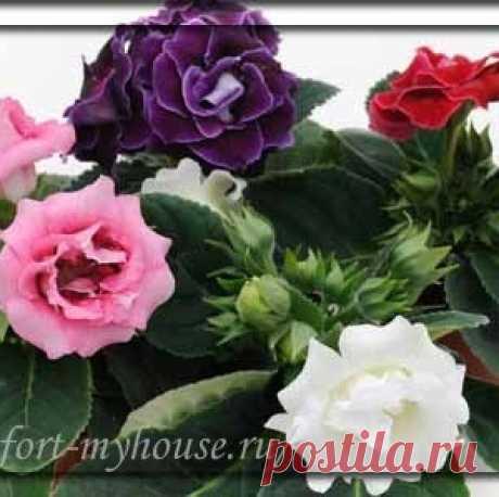 Домашний цветок глоксиния. Посадка и уход