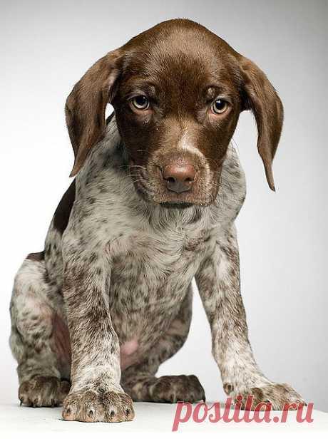 German shorthaired Pointer puppy | Flickr - Photo Sharing!