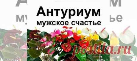 Антуриум мужское счастье Челябинск купить вЧелябинске | Товары для дома идачи | Авито Антуриум мужское счастье Челябинск: объявление опродаже вЧелябинске наАвито. Нетребовательное растение, Цветет круглый год, любит полутень может расти даже насеверном окне. Сорт Андрэ. Всего 7 расцветок -белый, розовый,сиреневый, шоколадный, красный, оранжевый, желтый. детки без цвета по150 . сцветами 350, 390,450, взависимости отвозраста, расцветки иразмера куста. - Продается...