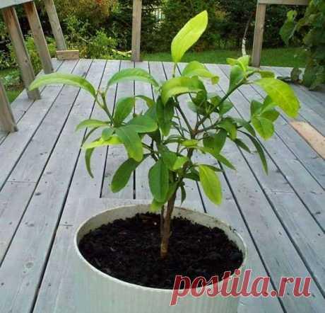 Попробуйте вырастить дома лимон | Люблю Себя