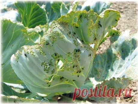 Дырочки на капустных листьях - спасаемся от крестоцветной блошки | Твоя усадьба | Яндекс Дзен