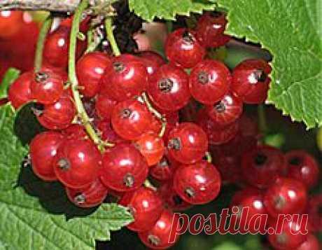 (+1) тема - Если красная смородина дает мелкие ягоды | ОГОРОД БЕЗ ХЛОПОТ