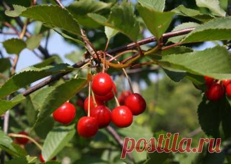 Вишня — все о культуре: сорта, выращивание, агротехника. Фото - Ботаничка.ru