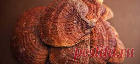 Грибы рейши. Полезные и лечебные свойства грибов рейши. Отзывы и противопоказания