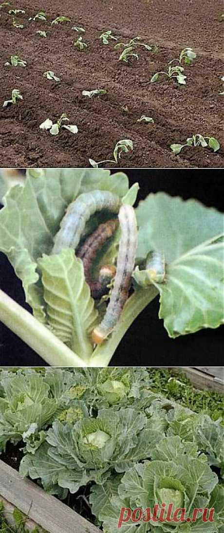 Подробное выращивание капусты из рассады | Дача - впрок