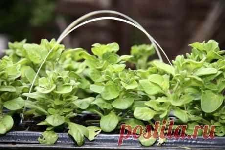 Как посеять петунию на рассаду  Многие садоводы считают выращивание рассадыпетунииделом очень сложным и не берутся за него. Действительно, на раннем этапе этот цветок отличается некоторой прихотливостью. Ноесли аккуратно соблюда…