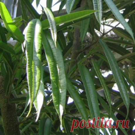 Фикус / Ficus barteri