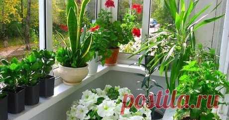 Секрет роскошного комнатного цветника прост.. Подкармливаем цветы.
