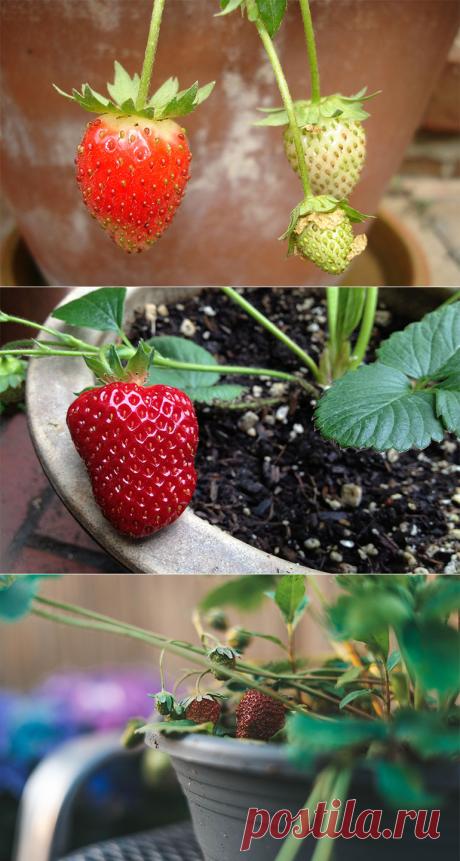 Можно выращивать клубнику дома на подоконнике и на балконе