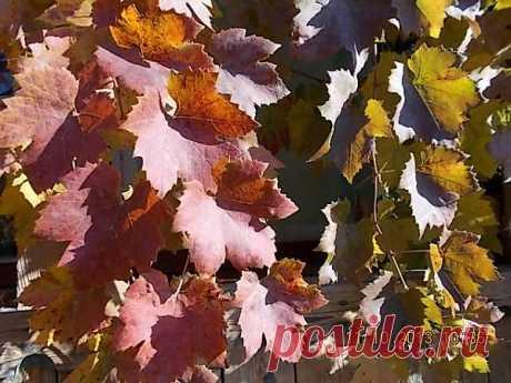 Многоцветье листьев винограда поражает своим разнообразием и сочетанием цветов и отенков