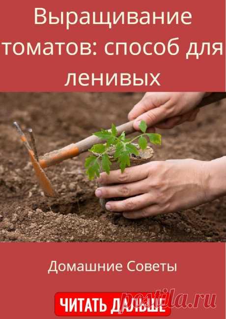 Выращивание томатов: способ для ленивых