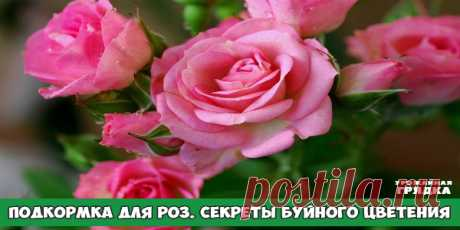 ПОДКОРМКА ДЛЯ РОЗ: РАСКРЫВАЮ СЕКРЕТЫ БУЙНОГО ЦВЕТЕНИЯ Совсем не зря розу называют королевой цветов — яркие и ароматные бутоны поражают своей красотой и разнообразием расцветок. Но чтобы розы как можно дольше радовали пышным цветением, за ними нужно правильно ухаживать, в частности, правильно