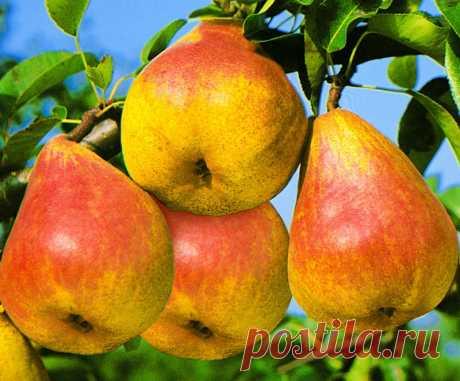 5 способов заставить грушу плодоносить быстрее — Садоводка