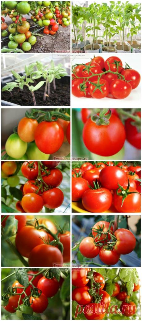 La fertilización el tomate durante la fructificación