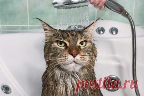 Как мыть домашнюю кошку: 5 заблуждений и интересных фактов   Приключения натуралиста   Яндекс Дзен