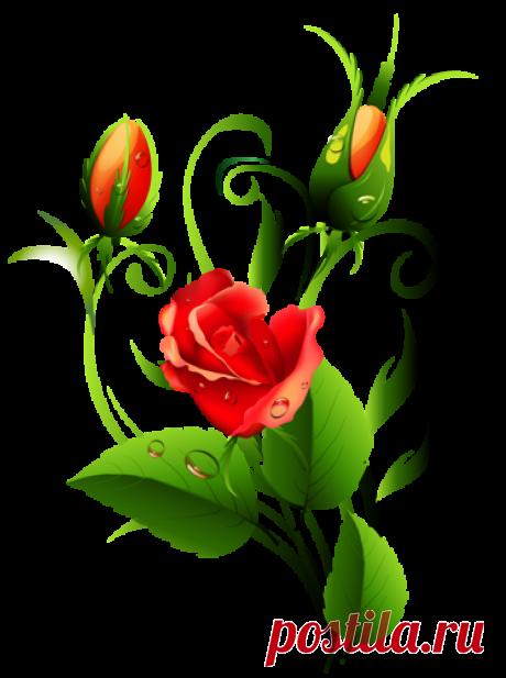 Розы (клипарт пнг)