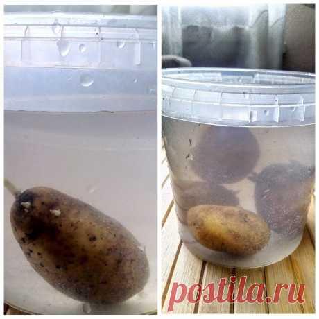 Обычная соль повысит урожай картофеля. Метод из старого дачного журнала | Маленький сад на краю Вселенной | Яндекс Дзен