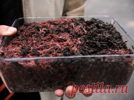 Разводим червей дома для рыбалки Изготавливаем инкубатор для червей своими руками | Душевная рыбалка | Яндекс Дзен
