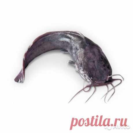Продажа живой рыбы. Мраморный клариевый сом купить в Рязанской области на Avito — Объявления на сайте Авито