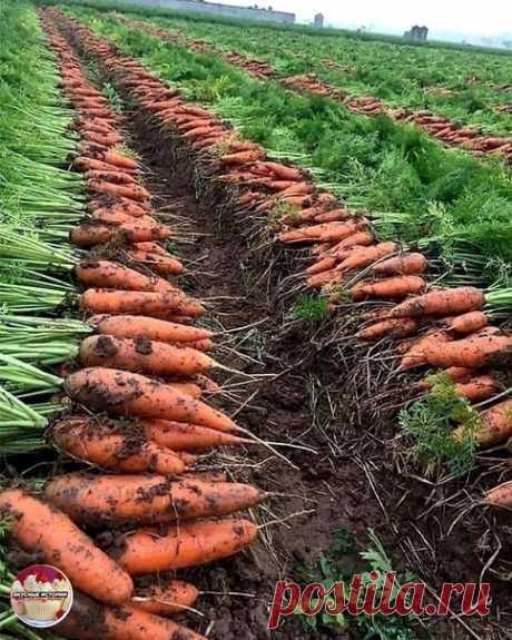Красота ,у меня почему то растёт одна мелочь  ДАЧНИКАМ ПРИГОДИТСЯ. Чтoбы урожай моркови был чистым, без всевозможных гнилей, болезней и т. д., воспользуйтесь этим советом:  После второго прореживания пролейте молодые растения раствором марганца. ⠀ Разведите в 10-литровом ведре 3 г марганца и 2-3 г борной кислоты. Одного ведра хватит на 3-4 м2. Через три недели повторите такой полив. ⠀ Морковь будет чистой, без заразы. Только перед поливом этим раствором пролейте морковные ...
