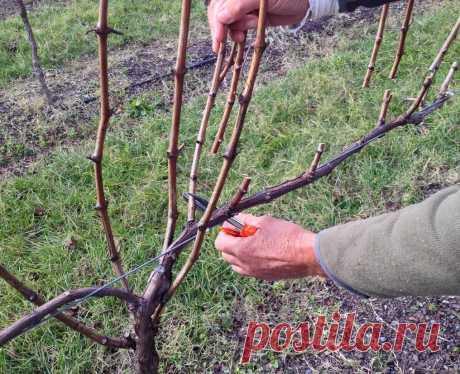 Какие главные ошибки допускает большинство садоводов при обрезке винограда осенью