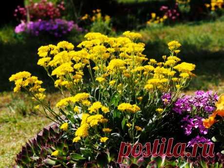 Як правильно посіяти квіти під зиму? Плюси і мінуси підзимного посіву. Фото - ЗЕЛЕНА САДИБА