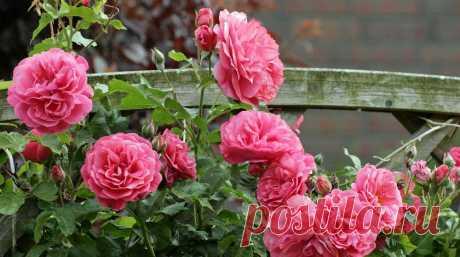 Как ухаживать за розами в сентябре: подробная инструкция :: Огород