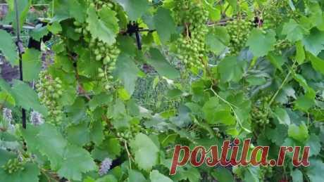 Профилактика винограда от оидиума.mp4