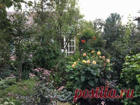 Георгины - фейерверк в саду