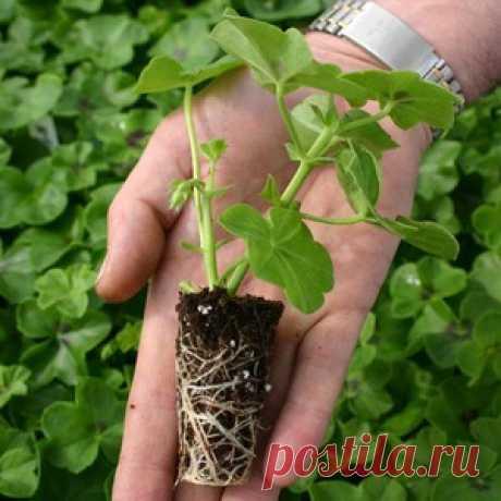 Высадка герани в открытый грунт: когда её высаживать весной и каков уход за ней