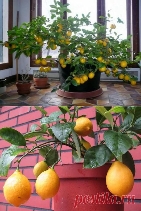 как вырастить лимон из косточки на подоконнике