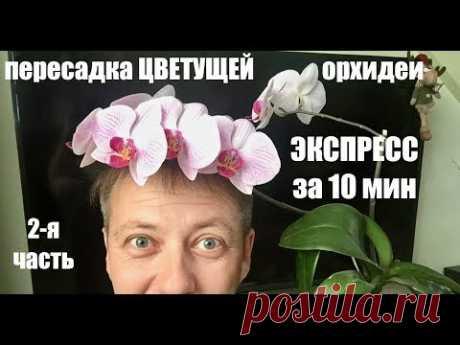 пересадка ЦВЕТУЩЕЙ ОРХИДЕИ фаленопсис