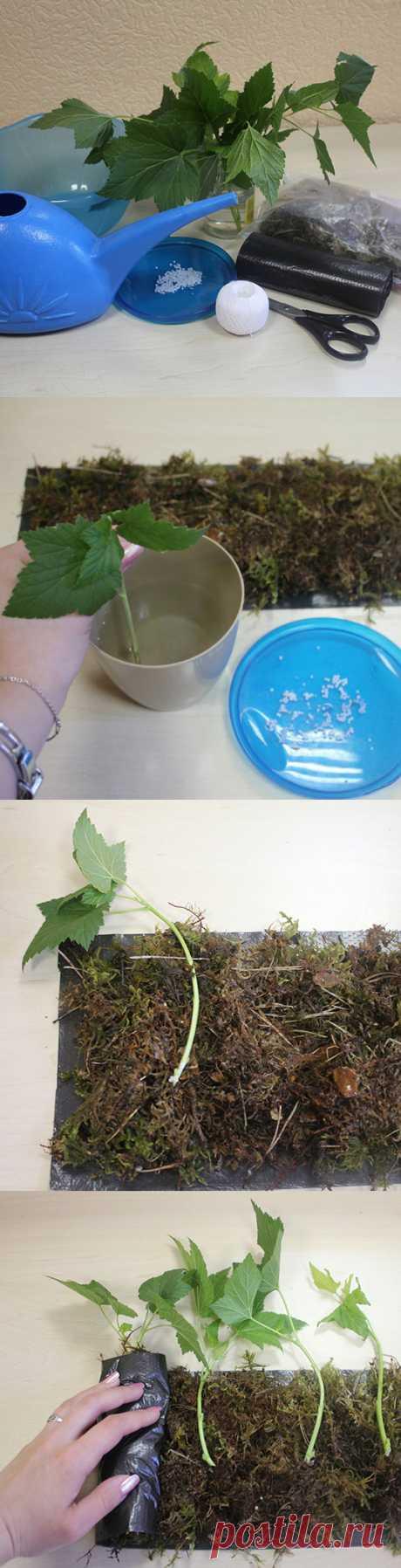 МАСТЕР-КЛАСС: размножение смородины зелеными черенками летом