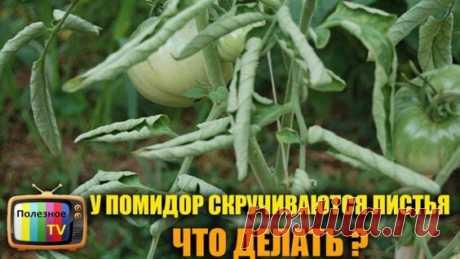 жидкое стекло...Скручиваются Листья у Томатов? Помогите им быстро и эффективно! - Яндекс.Видео