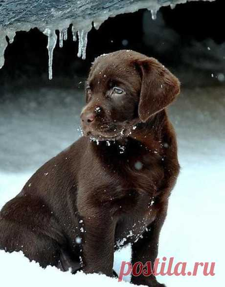 Adorable cute chocolate lab in snow ~ The Animals Planet