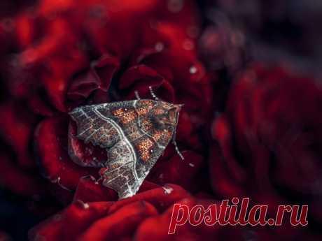 Совка зубчатокрылая. Фотограф – Анастасия Третьякова.