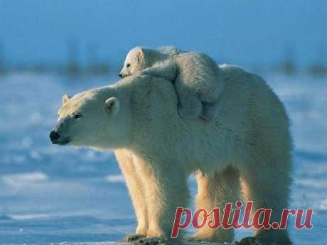 Про вброс белой медведицы.