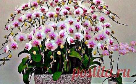 Секрети посадки орхідеї: як з 1 рослини отримати 100 У багатьох господить вдома є ніжні квіти на тонкому стеблі - орхідеї. Хочемо поділитися з Вами деякими хитрощами вирощування орхідей.    Як поліпшити зростання коріння?    Купіть мох сфагнум, який коштує копійки в квітковому магазині. Замочіть його у воді. З моху сформуй невелику кулю. Примотайте йо