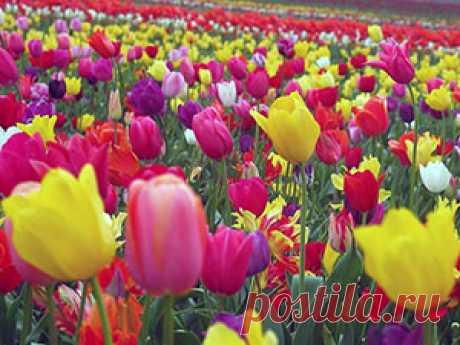 Цветок тюльпан – посадка и уход, фото тюльпанов, выращивание тюльпанов; когда выкапывать тюльпаны, когда сажать и выкапывать тюльпаны