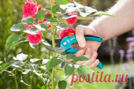 Летняя обрезка роз: как продлить период цветения и заставить розы зацвести повторно | Наталья Кудрявцева | Яндекс Дзен