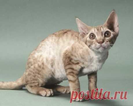 Орегон-рекс - ласковые кошки, которые очень ориентированы на людей и стараются проводить с членами своей семьи как можно больше времени.