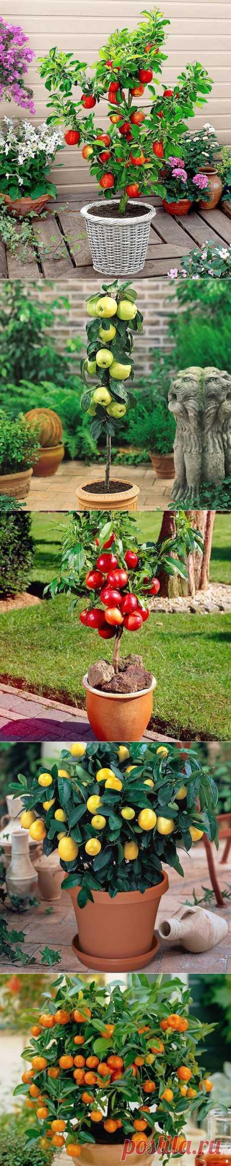 Карликовые деревья, из которых можно устроить настоящий фруктовый сад прямо на балконе  Черешня Апельсин Киви Вишня Мандарин Гранат Лимон Груша | Тысяча и одна идея    быстрые закуски  новогодние приметы       салат оливье