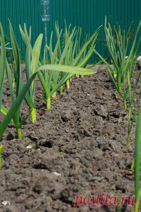 Каждый год выращиваю крупный и сочный репчатый лук, вызывающий зависть у соседки. Рассказываю, как добиваюсь | Секреты сада и дачи | Яндекс Дзен