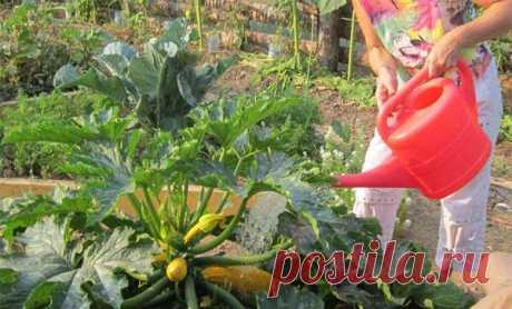 Когда и как правильно сажать кабачки семенами в открытый грунт