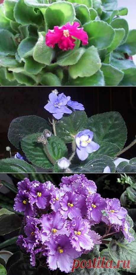 La violeta |