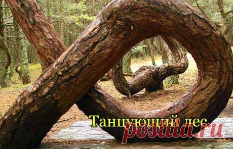 Танцующий лес - мистическое место на Куршской косе