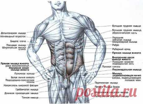Наталья Ливанова — «прямые мышцы.jpg» на Яндекс.Фотках