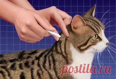 Какие капли от блох для кошек лучше Преимущество антипаразитарных капель перед другими видами заключается в том, что их наносят на холку - ...