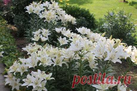 """Почему лилии нужно сажать большой """"семьей""""?      Сегодня почти у всех в саду есть лилии, но часто любители цветов совершают одну и туже ошибку... И эта ошибка заключается в том, что все стремятся посадить в своем цветнике как можно больше разны…"""